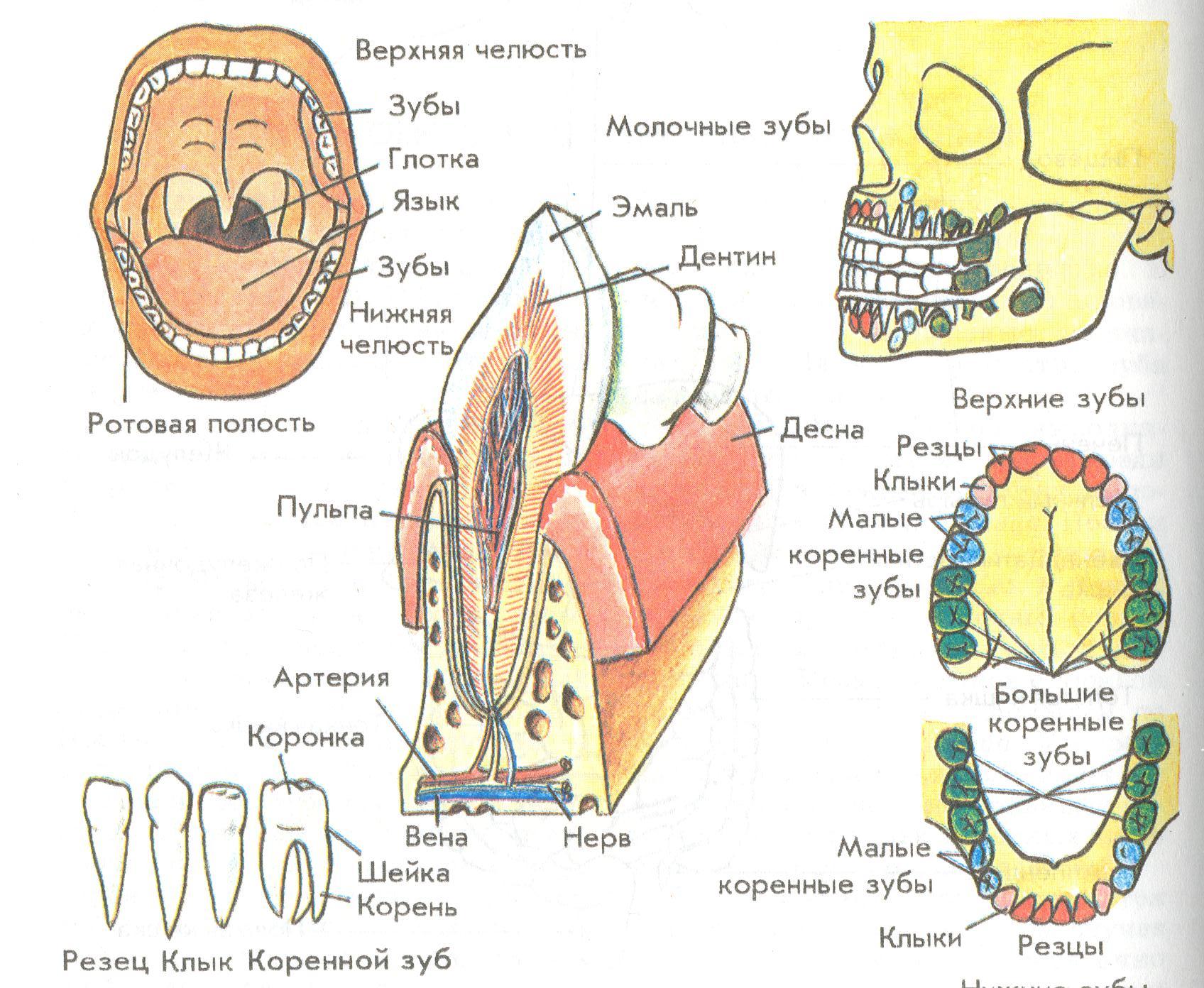типы зубов человека в картинках баянистость