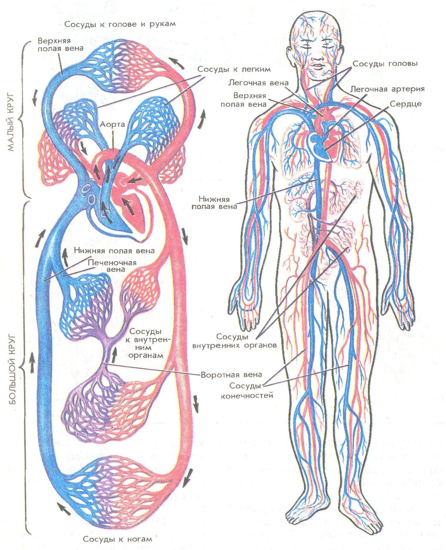 электрические схема кровообращения в картинках поставить