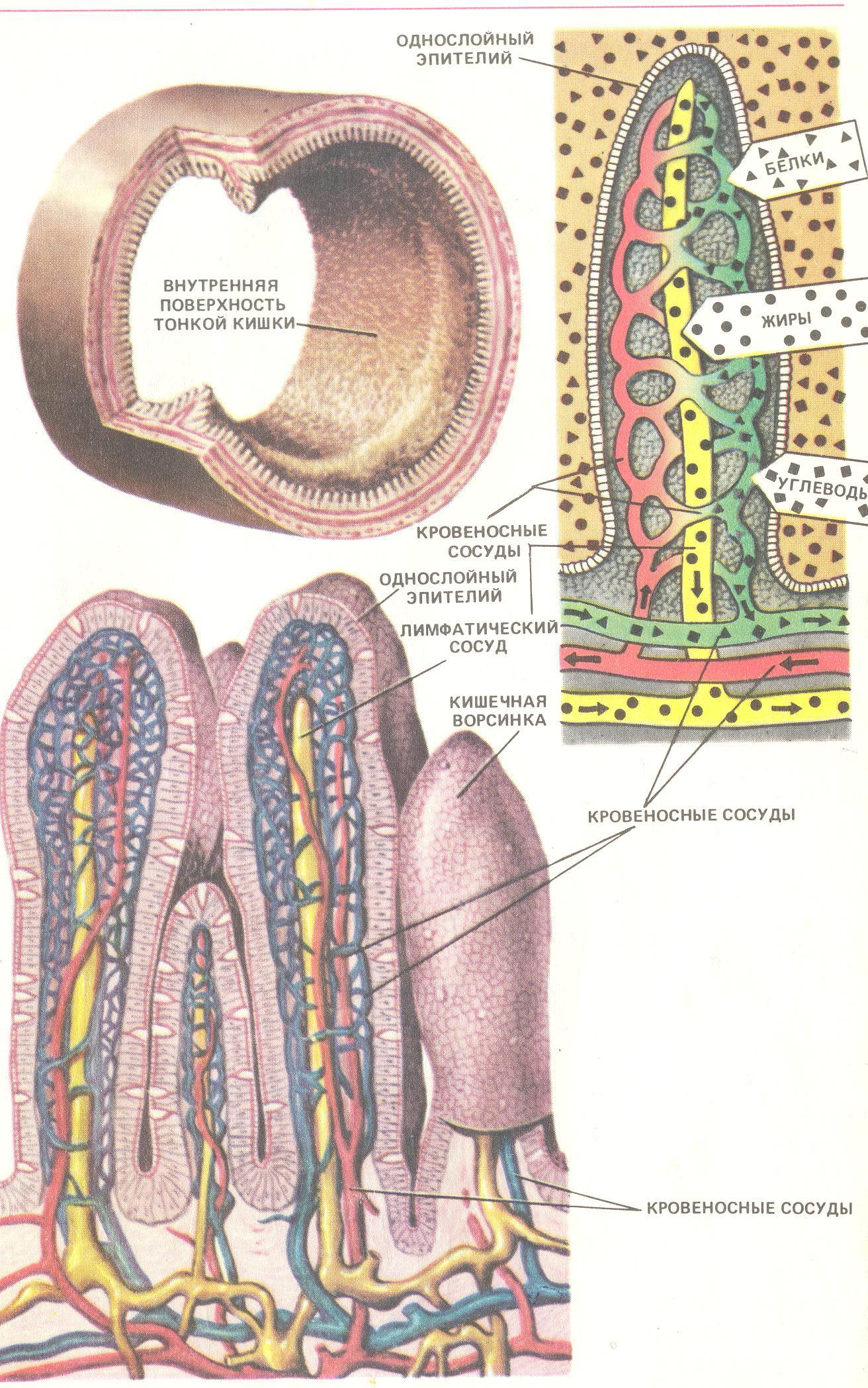 Схема строения ворсинки тонкой кишки