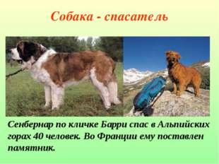 Собака - спасатель Сенбернар по кличке Барри спас в Альпийских горах 40 челов
