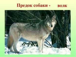 Предок собаки - волк