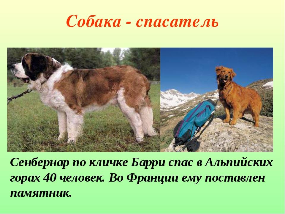 Собака - спасатель Сенбернар по кличке Барри спас в Альпийских горах 40 челов...
