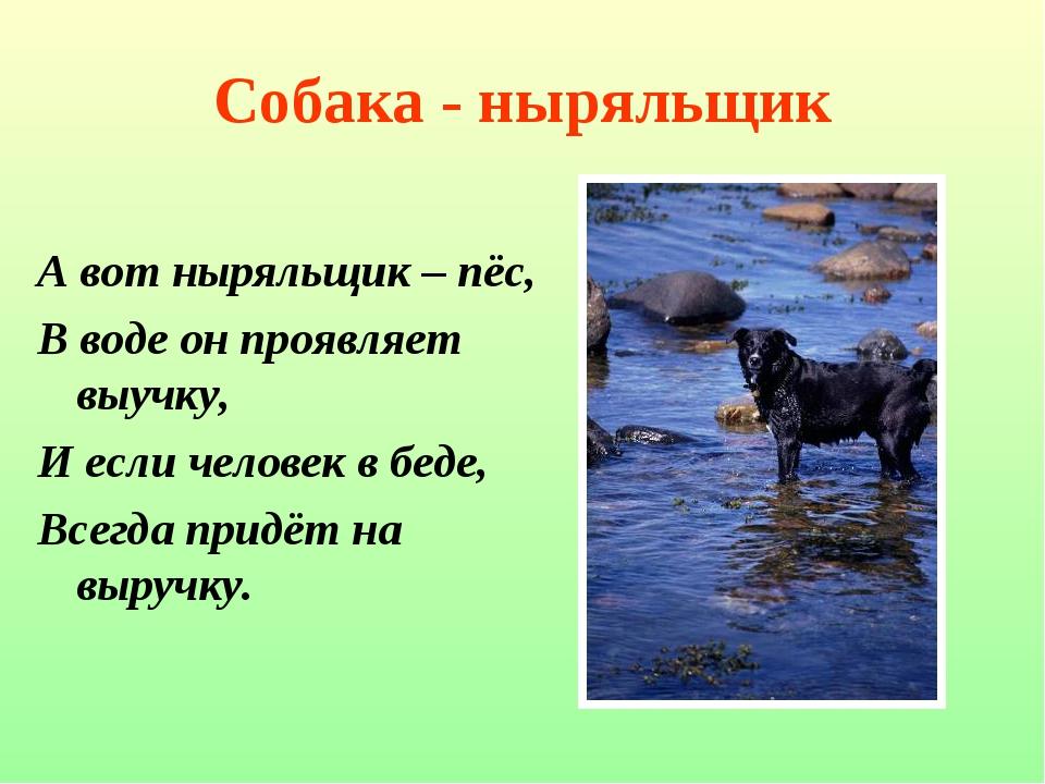 Собака - ныряльщик А вот ныряльщик – пёс, В воде он проявляет выучку, И если...