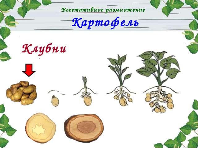 Картофель Клубни Вегетативное размножение