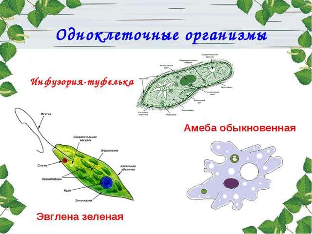 Одноклеточные организмы Инфузория-туфелька Амеба обыкновенная Эвглена зеленая