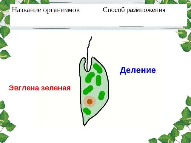 Эвглена зеленая Деление Название организмовСпособ размножения