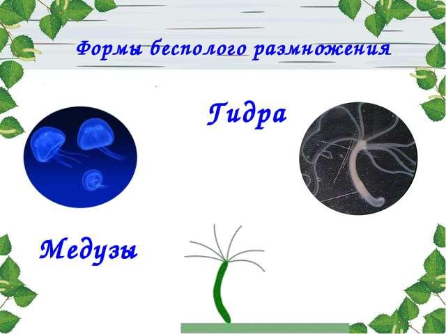 Гидра Медузы Формы бесполого размножения