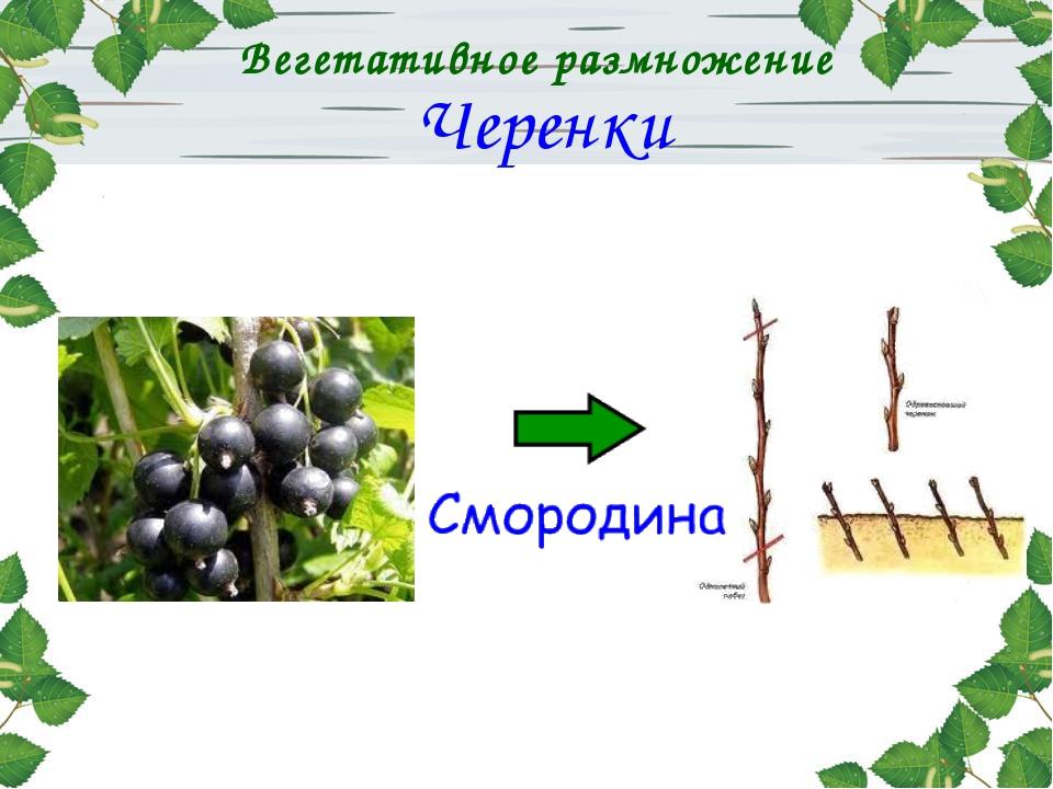 Вегетативное размножение Черенки