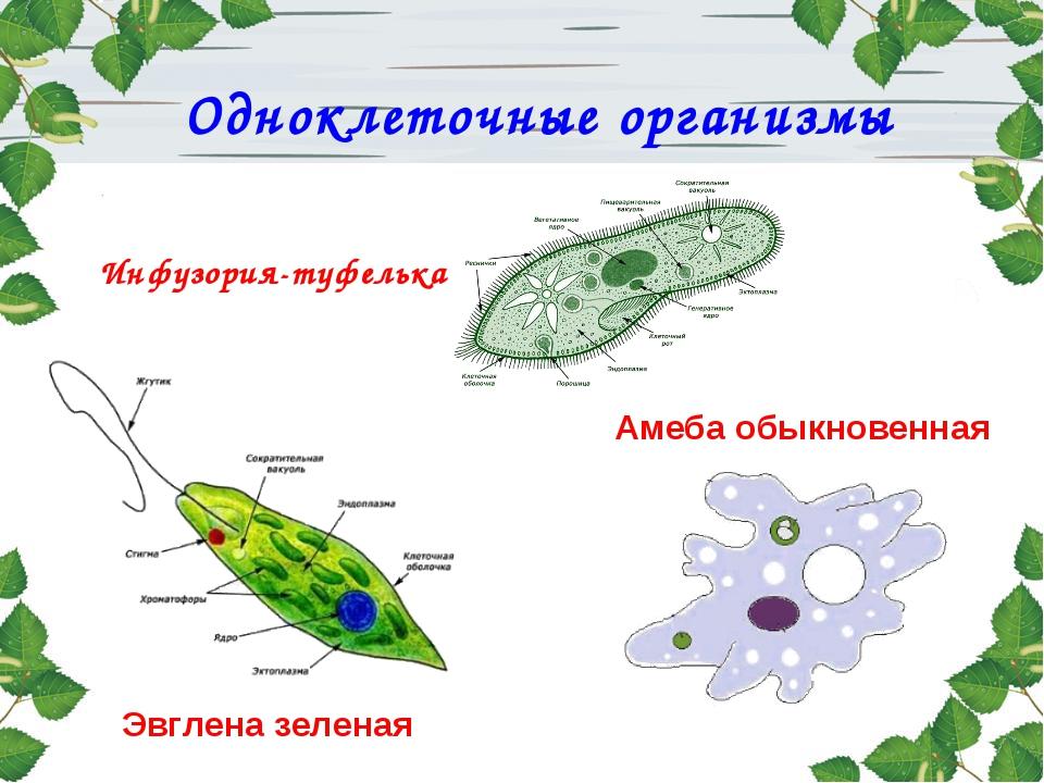 Амеба протей эвглена зеленая инфузория туфелька