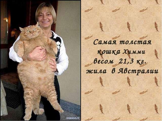 Самая толстая кошка Химми весом 21,3 кг. жила в Австралии