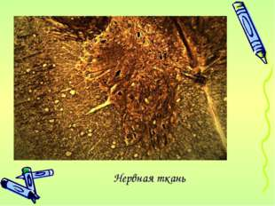 Нервная ткань