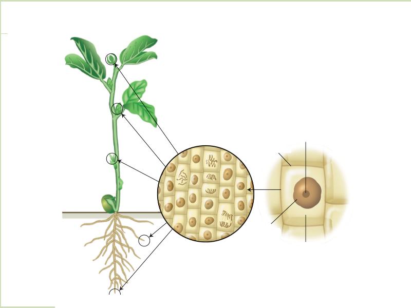 Расположение и строение образовательных тканей и их клеток (Рисунок).png