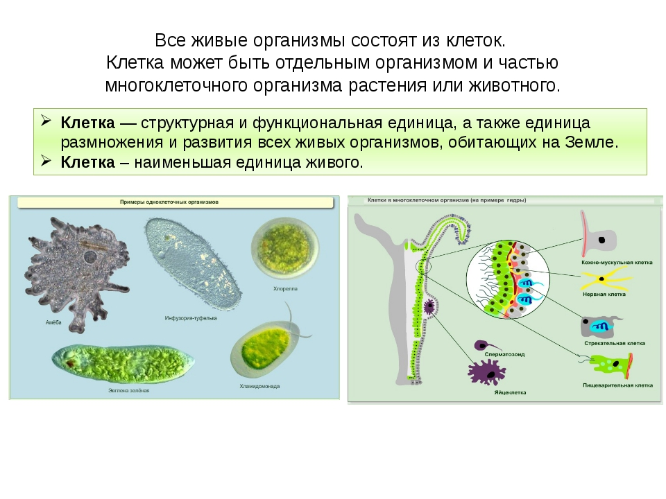Все живые организмы состоят из клеток. Клетка может быть отдельным организмом...