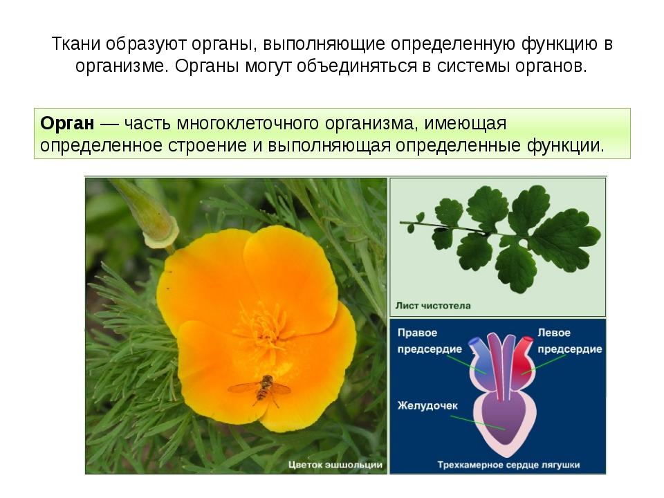 Ткани образуют органы, выполняющие определенную функцию в организме. Органы м...