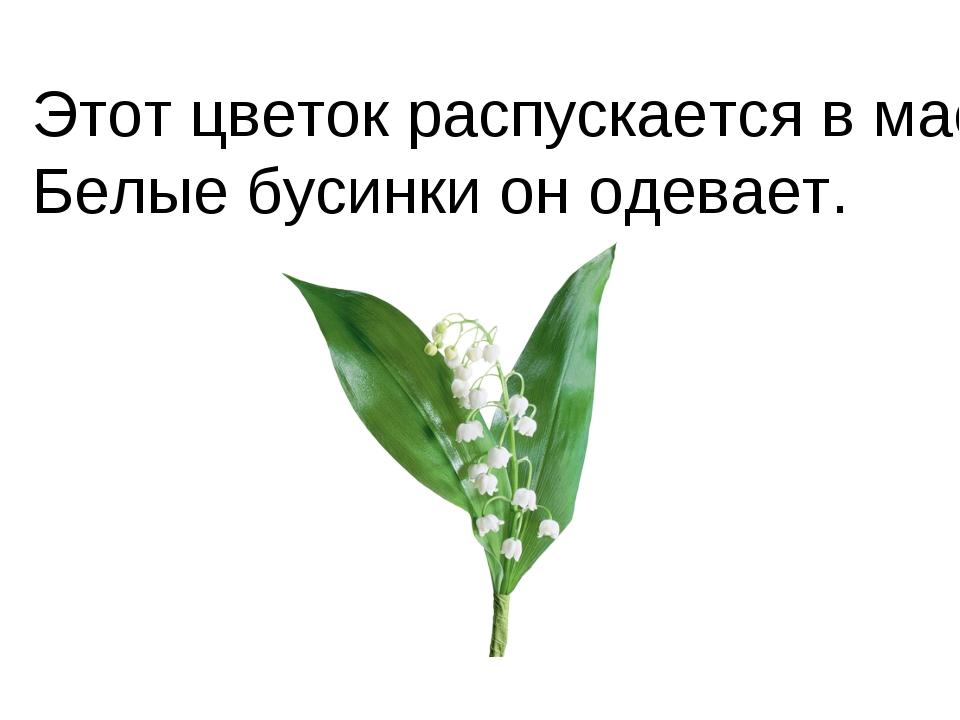 Этот цветок распускается в мае, Белые бусинки он одевает.