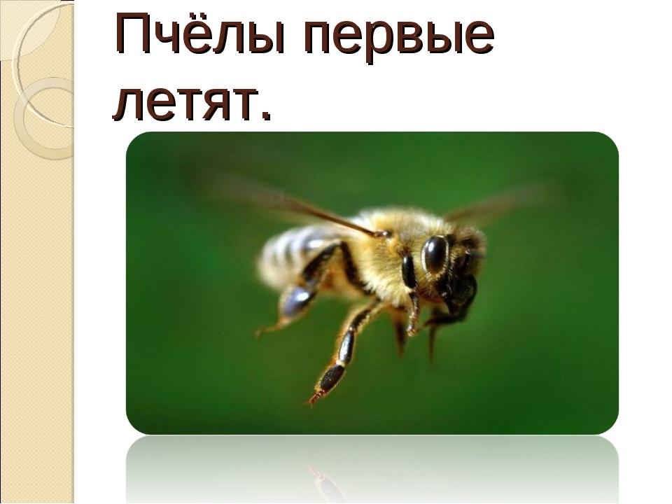 Пчёлы первые летят.