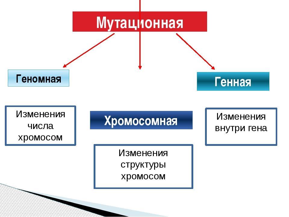 Мутационная Геномная Хромосомная Генная Изменения числа хромосом Изменения ст...