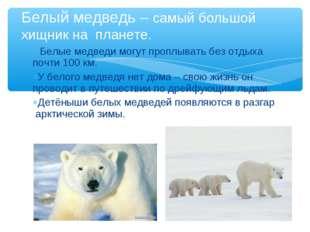 * Белые медведи могут проплывать без отдыха почти 100 км. У белого медведя не