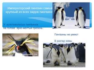 У золотоволосых пингвинов на голове ярко-жёлтый гребень . Пингвины не умеют