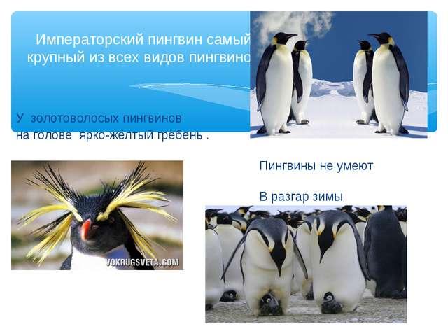 У золотоволосых пингвинов на голове ярко-жёлтый гребень . Пингвины не умеют...