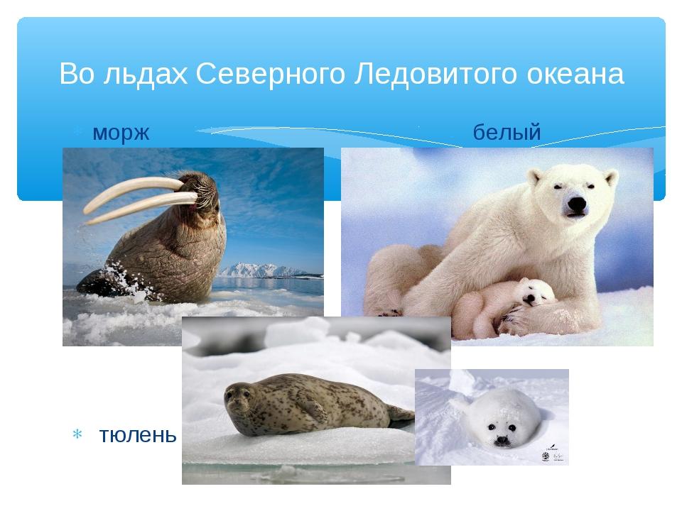 Во льдах Северного Ледовитого океана морж белый медведь тюлень