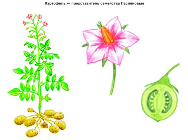 Цветы пасленовых