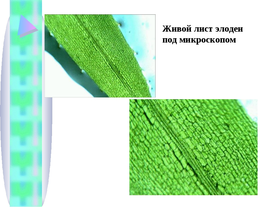 Живой лист элодеи под микроскопом