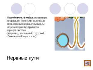 Нервные пути Проводниковый отдел анализатора представлен нервными волокнами,