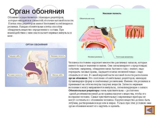 Орган обоняния Обоняние осуществляется с помощью рецепторов, которые находятс...