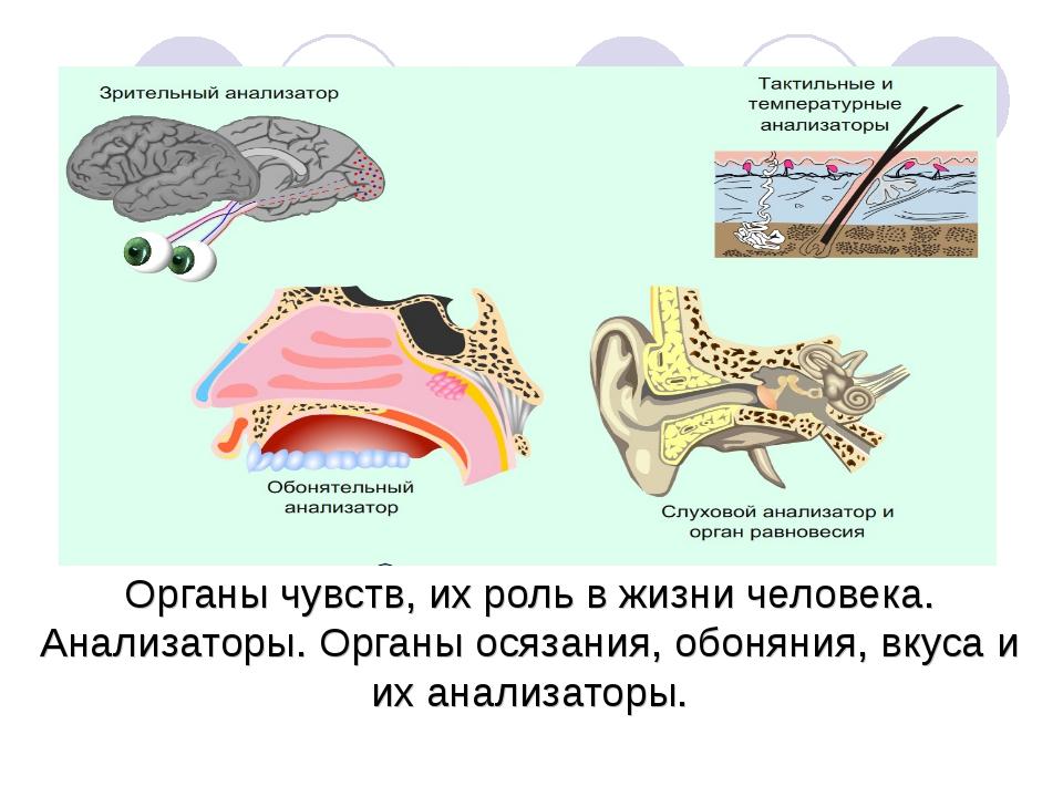 Органы чувств, их роль в жизни человека. Анализаторы. Органы осязания, обонян...