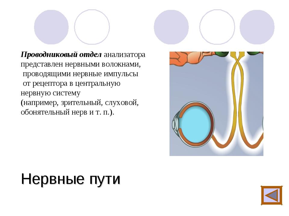 Нервные пути Проводниковый отдел анализатора представлен нервными волокнами,...