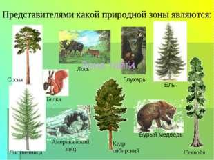 Лиственница Кедр сибирский Представителями какой природной зоны являются: Сос
