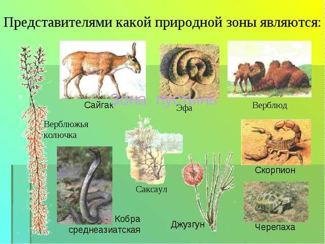 Представителями какой природной зоны являются: Верблюд Саксаул Эфа Верблюжья...