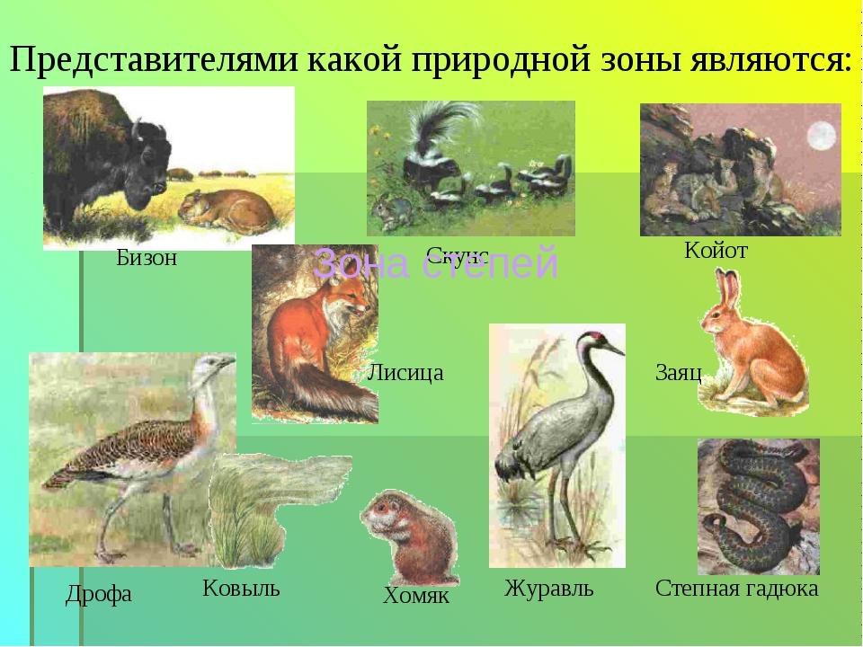 Бизон Представителями какой природной зоны являются: Койот Дрофа Ковыль Степн...