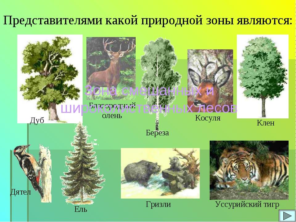 Представителями какой природной зоны являются: Дуб Клен Косуля Благородный ол...