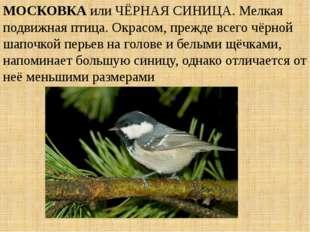МОСКОВКА или ЧЁРНАЯ СИНИЦА. Мелкая подвижная птица. Окрасом, прежде всего чёр