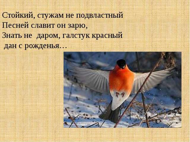 Стойкий, стужам не подвластный Песней славит он зарю, Знать не даром, галсту...
