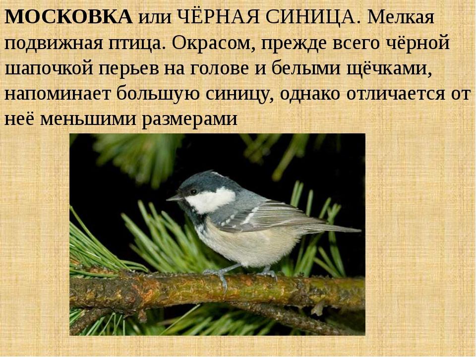 МОСКОВКА или ЧЁРНАЯ СИНИЦА. Мелкая подвижная птица. Окрасом, прежде всего чёр...