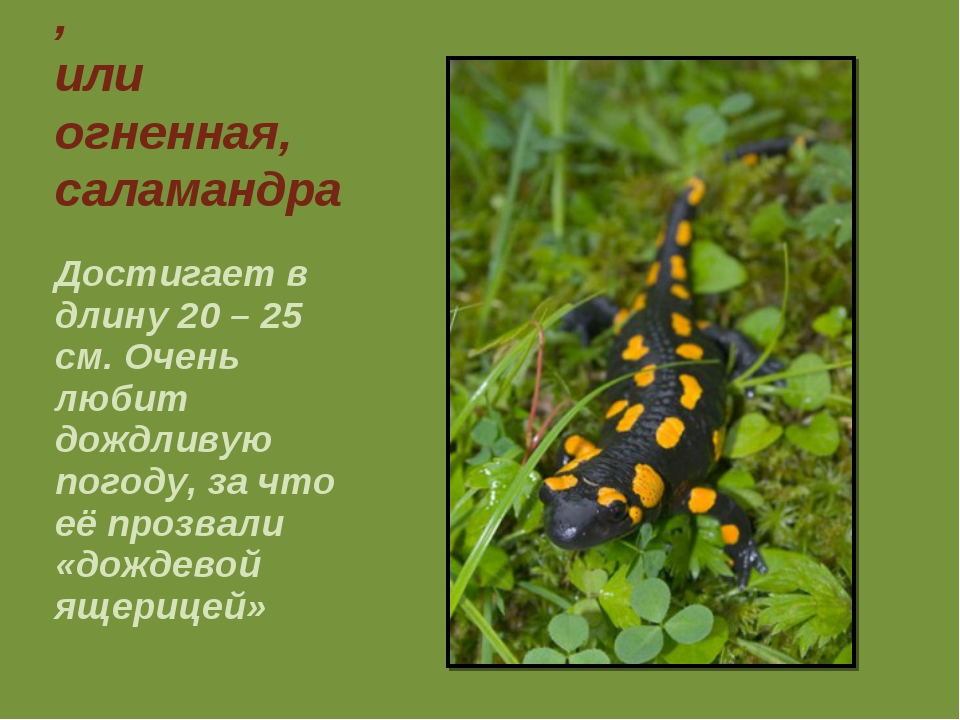 Пятнистая, или огненная, саламандра Достигает в длину 20 – 25 см. Очень любит...
