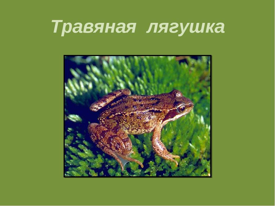 Травяная лягушка