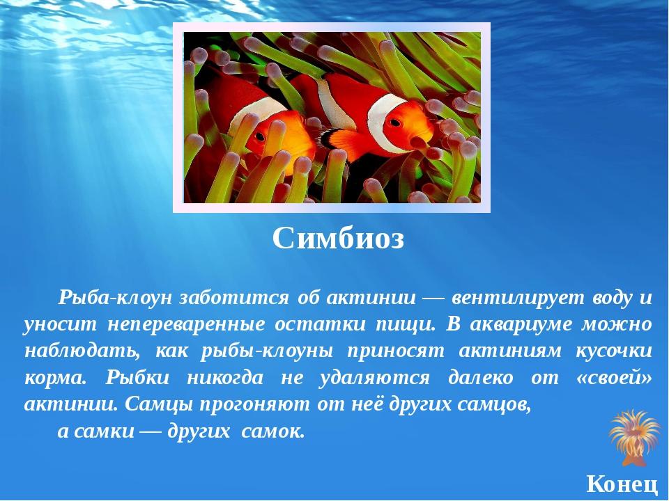 Симбиоз Рыба-клоун заботится об актинии — вентилирует воду и уносит неперевар...