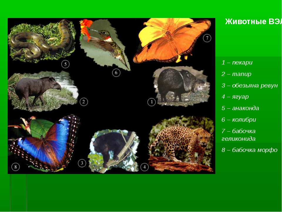 Животные ВЭЛ 1 – пекари 2 – тапир 3 – обезьяна ревун 4 – ягуар 5 – анаконда 6...