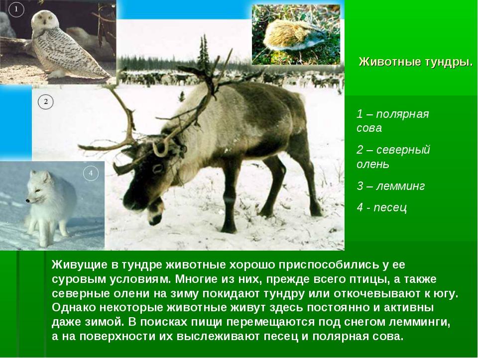 Животные тундры. Живущие в тундре животные хорошо приспособились у ее суровым...