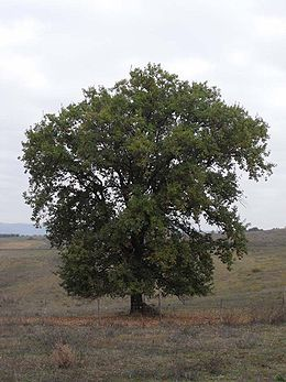 http://upload.wikimedia.org/wikipedia/commons/thumb/9/96/Quercus_pubescens_Tuscany.jpg/260px-Quercus_pubescens_Tuscany.jpg