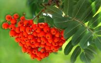 http://vkurse.ua/i/2011-03/vsem-znakomaya-ryabina_small.jpg