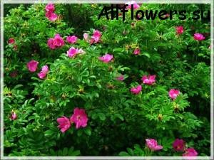 http://allflowers.su/wp-content/uploads/2013/04/kust-shipovnika1-300x225.jpg