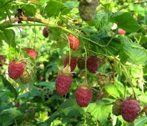 http://spravochnik03.com/img/plants/yagoda-malina.jpg