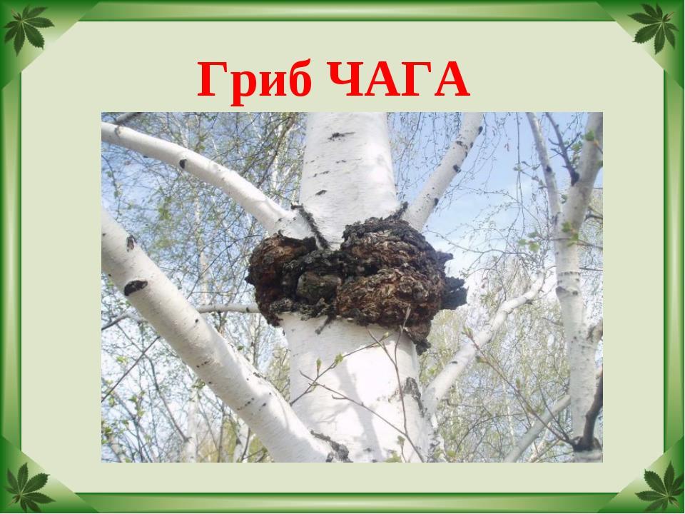 Гриб ЧАГА