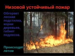 Низовой устойчивый пожар Обгорает лесная подстилка, корни деревьев, гибнет по