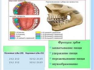 Функции зубов захватывание пищи удержание пищи пережевывание пищи звукообразо